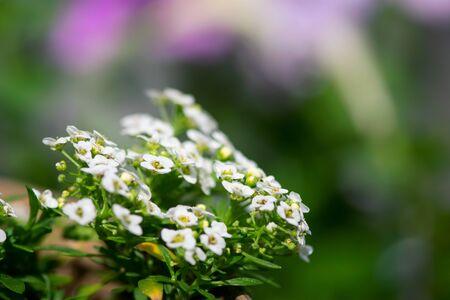 Tiny, white allysum flowers bloom in a summer garden.