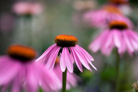 A pink, echinacea flower blooms in a summer meadow.