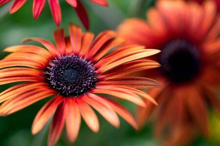 A bright, orange African daisy flower blooms in a summer garden. 免版税图像