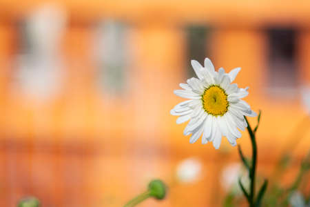 A white, Shasta daisy blooms against the orange background of a garden fence. 스톡 콘텐츠