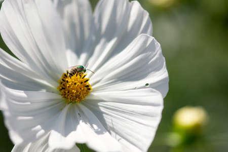 A green bee pollinates a white cosmos flower in a summer garden.