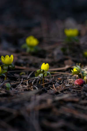 A yellow, winter aconite flower is highlighted by a beam of late winter sunlight.