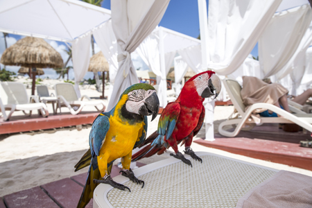 guacamaya: pair of macao parrots on a sundlounger