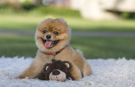 pure bred: pomeranian pure bred dog on green grass Stock Photo