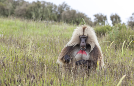 Gelada baboon in Simien mountains