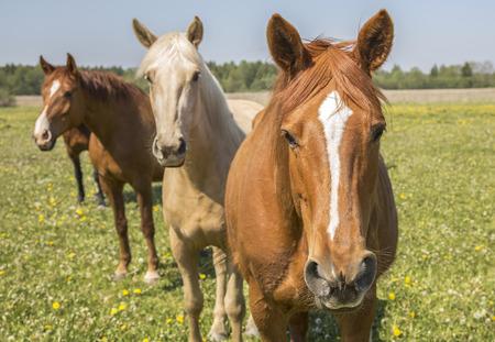 paarden op een veld bloemen in Saaremaa, Estland Stockfoto