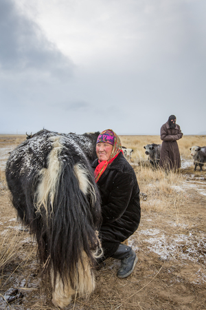 very cold: BAYAN ULGII, MONGOLIA - CIRCA OCTOBER 2016: A mongolian woman is milking a yak at sunrise in a very cold day