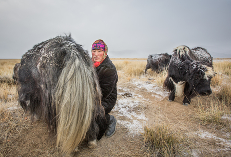 BAYAN ULGII, MONGOLIA - CIRCA OCTOBER 2016: A mongolian woman is milking a yak at sunrise in a very cold day