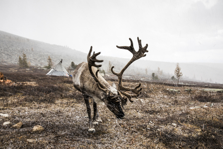 reindeer in a snow in Northern Mongolia