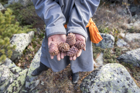 Mongolian mans hands holding pine cones Stock Photo