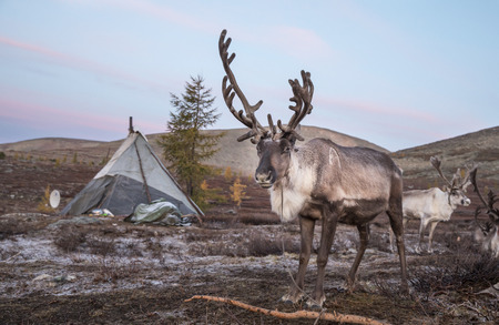 reindeer in a landscape of northern Mongolia