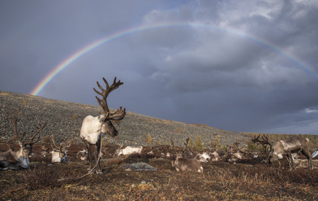 reindeer under a rainbow in a landscape of northern Mongolia
