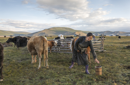 mongolia nomad woman woman milking cows at sunrise