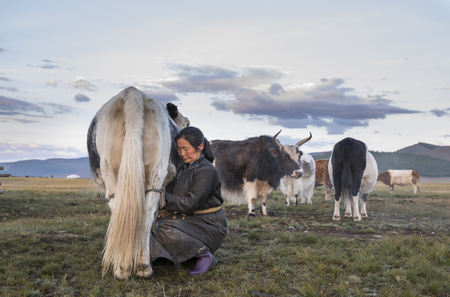 mongolian nomad woman milking a cow Stock Photo
