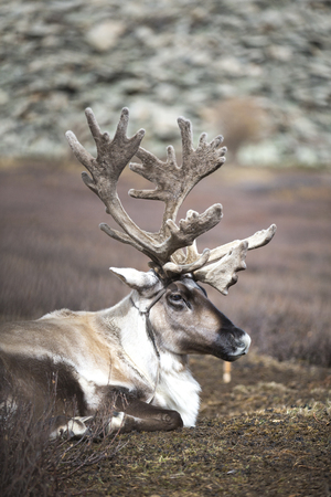 reindeer resting in a northern Mongolia