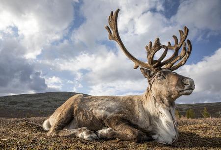 rein deer in a landscape of northern Mongolia