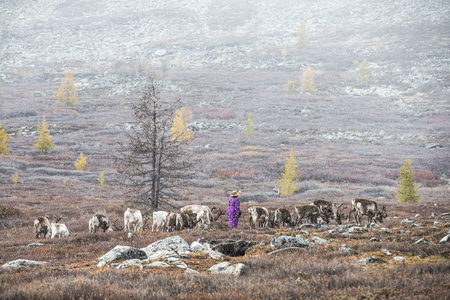 tsaatan woman in a rain with reideers in a landscape of northern mongolia