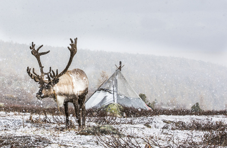 rein deer in a snow in northern Mongolia Stock Photo
