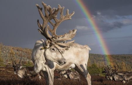 モンゴル北部の風景の中のトナカイと虹