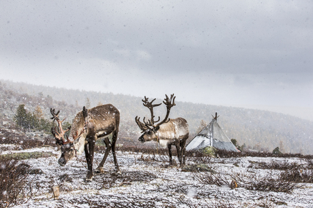rein deer in a snow in northern Mongolia Banque d'images