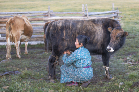 huvsgul, Mongolia, September 6th, 2017: mongolian woman milking a cow in a landscape of northern Mongolia