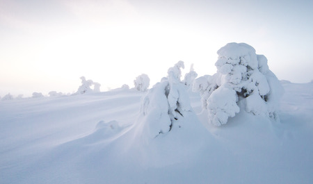 frozen trees in Riisitunturi National Park in Finnish Lapland