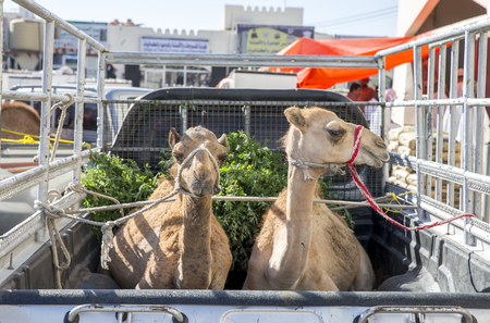 camels being transported at a back of a car Stock Photo