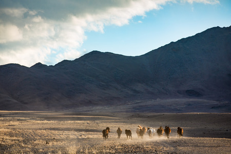 Mongolian horses on a hill with a dark sky above them