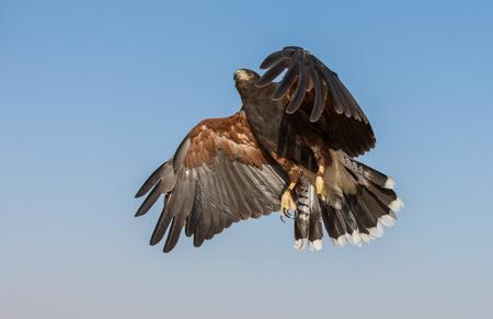Harrier hawk (Polyboroides typus) at flight against a blue sky