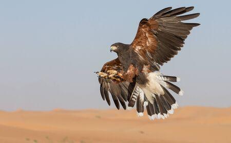 Falke fliegt in einer Wüste Standard-Bild