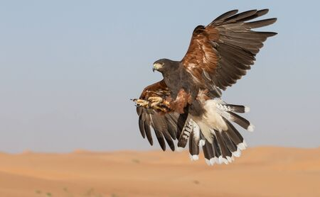 hawk flying in a desert Stock Photo