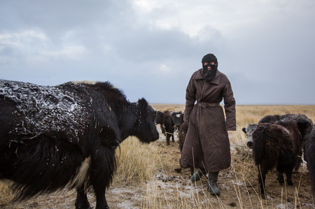 BAYAN ULGII, MONGOLIA - CIRCA OCTOBER 2016: a nomadic man with his cows in early hours of a very cold day Editorial