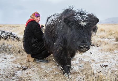 Bayan Ulgii, Mongolia, September 2015: Kazakh woman milking a yak in a landscape of Western Mongolia Editorial