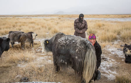 Bayan Ulgii, Mongolia, September 2015: Kazakh woman milking a yak in a landscape of Western Mongolia Editorial