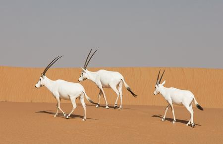 arabian oryxes in a desert near Dubai Stock Photo
