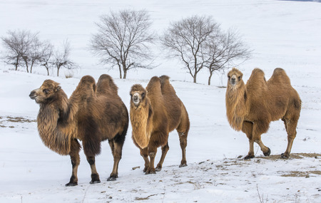 bactrian camels walking in a the winter landscape of northern Mongolia 版權商用圖片