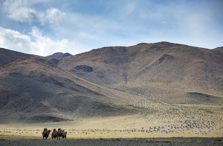 camels in a landscape of rural Mongolia Stock Photo