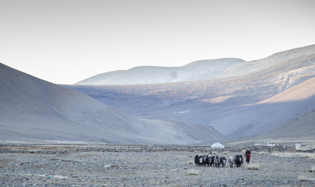 bayan Ulgii, Mongolia, 1st October 2015: kazak woman walking with her yaks in a remote area of Western Mongolia Stok Fotoğraf