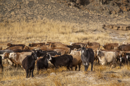 mutton in a landscape of western mongolia