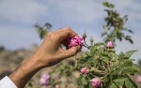 hands collecting rose petals for rose water making in Oman Banco de Imagens
