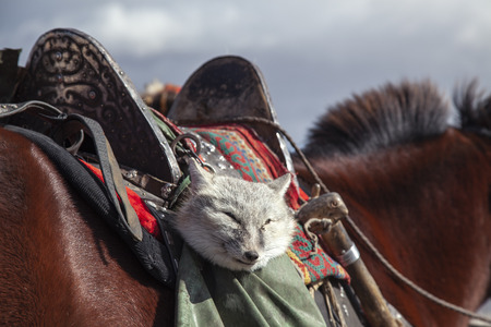 silver fox in a saddle bag of an eagle hunter to be used as a bait to traing an eagle Stok Fotoğraf