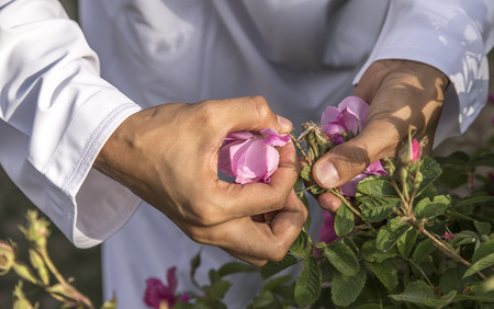hands collecting rose petals for rose water making in Oman Stok Fotoğraf