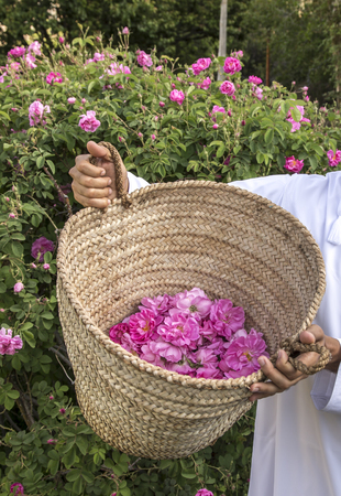 hands holding a basket for rosepetals to be used for rose water