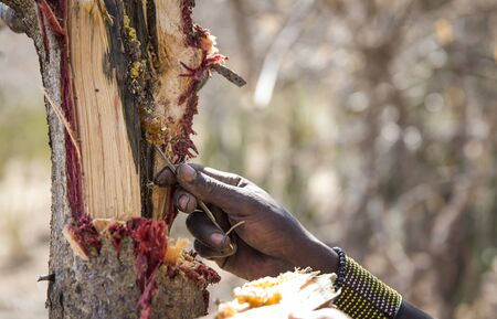 hadzabe man picking honey out of a tree