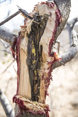 honey in a tree from small stingless honeybees Stock Photo