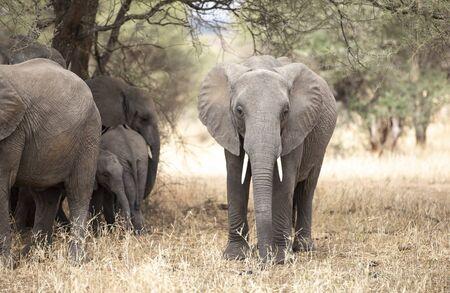 Female african elephant in nature Banco de Imagens
