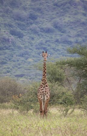 Masai giraffe in Mikomazi national park in Tanzania