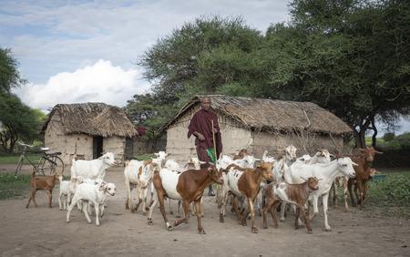 same, Tanzania, 4th June 2019: maasai man herding his goats