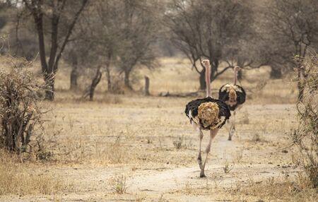 ostrich in a landscape of northern Tanzania