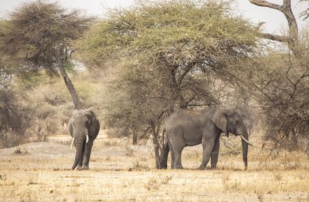 african elephant in a landscape of Tanzania